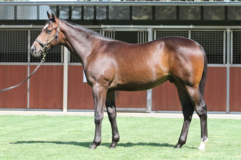 Lot 350B ColtMedaglia d'Oro (USA) x Mango Daiquiri (NZ)click for more