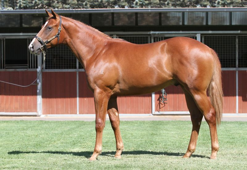 Lot 425Ch ColtStryker x Our Spirits Bay (NZ)click for more