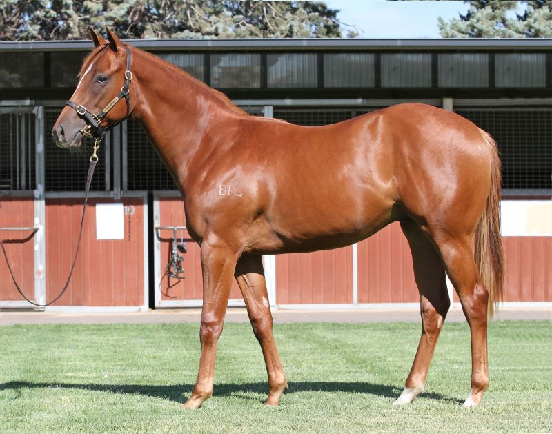 Lot 548Ch ColtStar Witness x Summer Touchclick for more