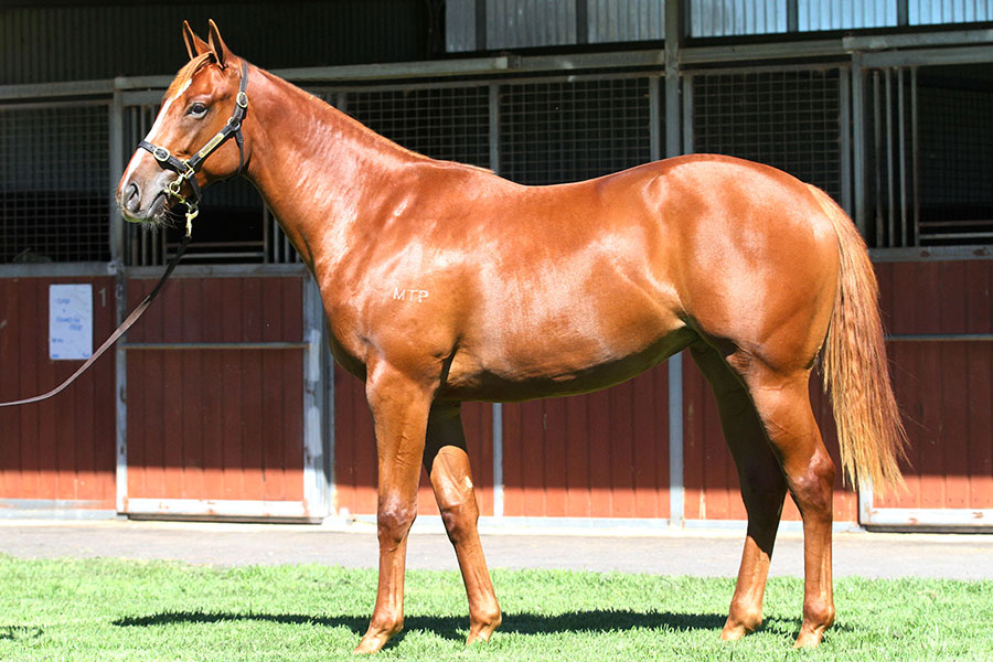 Lot 237Chestnut FillyFrankel (GB) x Chocolicious (SAF)click for more
