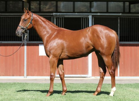 Lot 164Chestnut ColtSebring x Dorf Commandclick for more