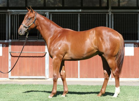 Lot 37Chestnut ColtAll Too Hard x Attunga Roseclick for more